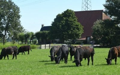 Bedrijfsreportage Frysk Black Angus in Nieuwe Oogst